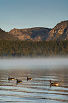 Canada Geese Branta canadensis, swim in calm water below mountains, Kiva Beach, south shore, Lake Tahoe, California