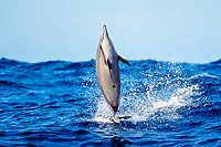 Long-snouted Spinner Dolphin, Stenella longirostris, leaping out of large swell, note fresh cookie cutter shark wound on belly, Isistius brasiliensis, Kona, Big Island, Hawaii, Pacific Ocean