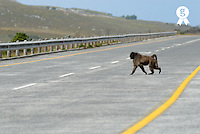 Lonely Chacma baboon crossing highway road (Licence this image exclusively with Getty: http://www.gettyimages.com/detail/98871184 )