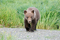 A baby brown bear advances across a gravel bar.
