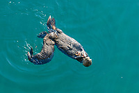 Southern sea otter, Enhydra lutris nereis, pup nursing, Monterey, California, USA, Pacific Ocean, national marine sanctuary, endangered species