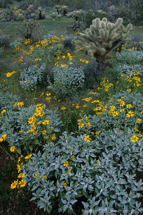 Brittlebush (Encelia farinosa) and teddy bear cholla (Opuntia bigelovii), Organ Pipe Cactus National Monument, Arizona