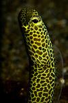 Portrait of a Taylor's garden eel, Heteroconge taylori, Lembeh Strait, Manado, North Sulawesi, Indonesia, Pacific Ocean