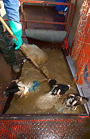 Dipping Swaledale ewes in a mobile dip, Whitewell, Lancashire with dipping pole and protective clothing.....Copyright..John Eveson,.Dinkling Green Farm,.Whitewell,.Clitheroe,.Lancashire..BB7 3BN.Tel. 01995 61280.Mobile 07973 482705.j.r.eveson@btinternet.com.www.johneveson.com