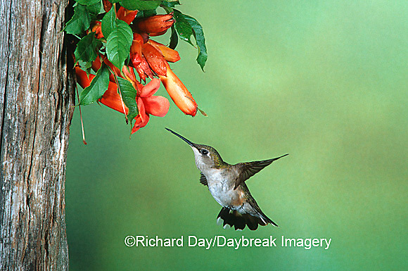 01162-06416 Ruby-throated Hummingbird (Archilochus colubris) female on Trumpet Creeper (Campsis radicans) Shelby Co. IL