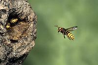 Hornet - Vespa crabro