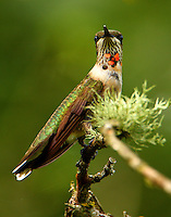 Subadult male ruby-throated hummingbird
