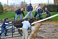 Melissa Mainville, Roger Lightner, Doug Monaco, R.J. Arft, Dr. A.G. Steiner, Peter Hunter, and the cows owner (who requested to be unnamed) struggle to pull a cow out of a swimming pool after draining the pool. The cow had escaped from a nearby farm and run onto the pool cover and punctured it with her hoofs.