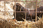 Black Leopard, Big Cat Rescue