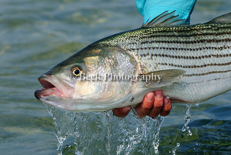 Handheld Striped Bass