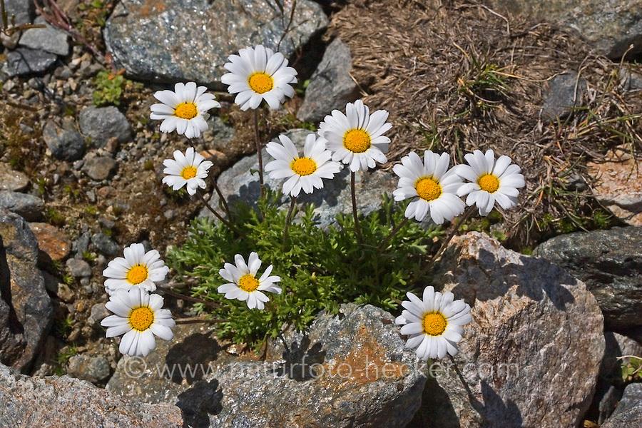 Gewöhnliche Alpenmargerite, Alpenwucherblume, Alpen-Margerite, Alpen-Wucherblume, Leucanthemopsis alpina, Chrysanthemum alpinum, Tanacetum alpinum, Marguerite des Alpes