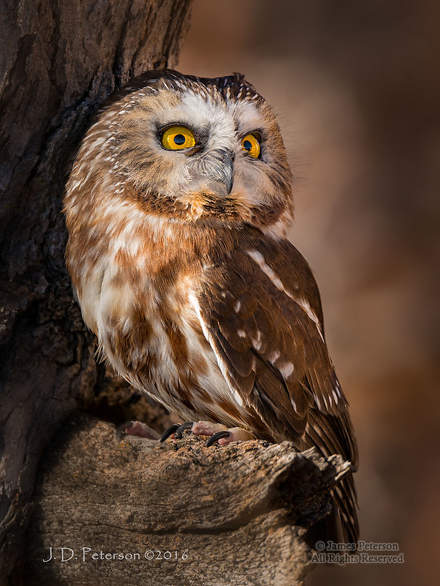 Northern Saw-whet Owl, Chino Valley, Arizona ©2016 James D Peterson.  This bird resides at a wildlife shelter called Arizona's Wildlife Experience, which cares for creatures that cannot be returned to the wild because they are injured or because they have been rasied in captivity.