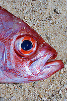 Seychelles, Island Mahe: dead fish on the beach - red snapper  (Lutjanus campechanus)