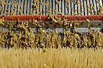 Austria Styria, cultivation of pumpkin, the seeds are used for processing of pumpkin seed oil / Oesterreich Steiermark, Anbau von Kuerbis und Verarbeitung zu Kuerbiskernoel, Ernte mit Traktor und Erntemaschine bei Landwirt Herbert Semler, maschinelle Trennung von Fruchtfleisch und Kuerbiskern
