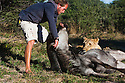 Botswana, Kalahari, Valentin Gruener with a lioness he raised, on a wildebeest kill; the lioness has successfully killed 14 antelopes although she was raised in captivity