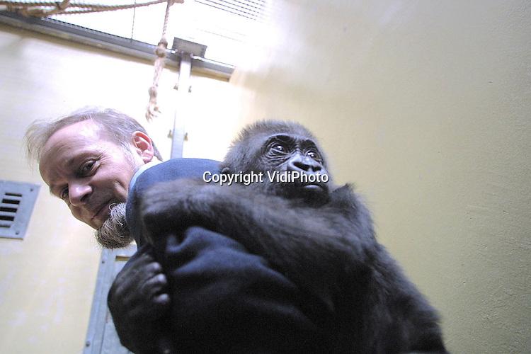 Foto: VidiPhoto..ARNHEM - Krampachtig hecht het gorillaweesje Nyokumi zich nu nog aan een van de verzorgers van Burgers Zoo in Arnhem. Nyokumi is met de fles grootgebracht nadat moeder Ndiki in maart dit jaar overleed. Nyokumi moet zich nu gaan aanpassen aan de gorillagroep van Burgers. Hoewel het jong in eerste instantie werd geadopteerde door een vrouwtjesgorilla, mislukte dat toch omdat die een eigen jong kreeg. Nu het negen maanden oude diertje groot genoeg is om in de groep opgenomen te worden, wordt Nyokumi 'ontmenselijkt'. Dat wil zeggen dat ze geen rechtstreeks contact meer mag hebben met de oppassers.