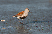 Dunlin (Calidris alpina) in spring breeding plumage, spring migration along Pacific Northwest coastline.