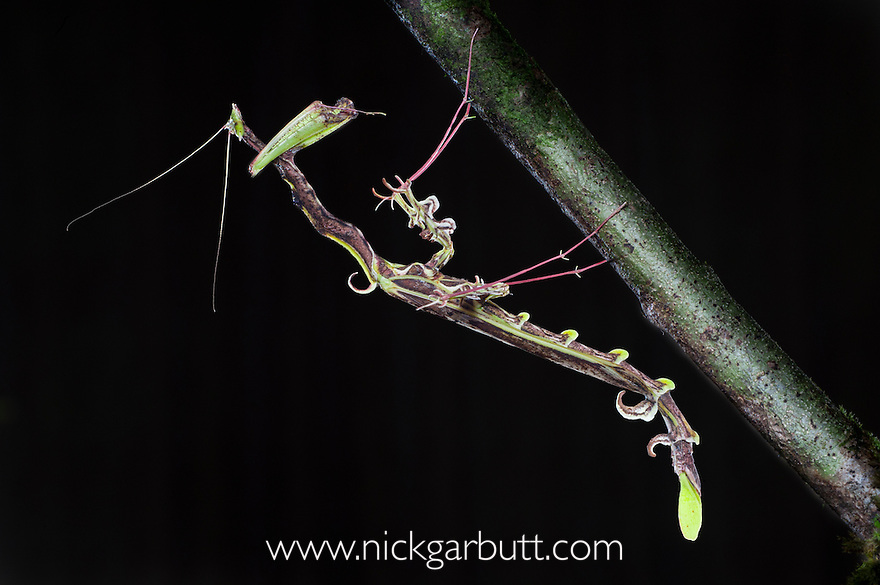 Spiky Stick Mimic Mantis (Toxodera beieri) from lowland dipterocarp forest. Danum Valley, Sabah, Borneo.