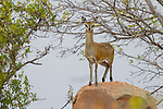 Klipspringer (Oreotragus oreotragus) female on rock, Kruger National Park, South Africa