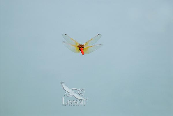 Cardinal Meadowhawk (Sympetrum illotum) male.  Pacific Northwest.