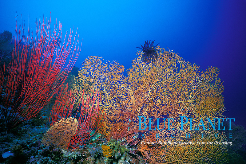 sea fans and sea whips (gorgonian soft corals or octocorals) and black crinoid or feather star, on an Indo-Pacific Ocean coral reef, Layang Layang atoll, Sabah, Malaysia (South China Sea)