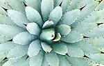 Agave (Agave macroacantha), Desert Botanical Museum, Phoenix, Arizona