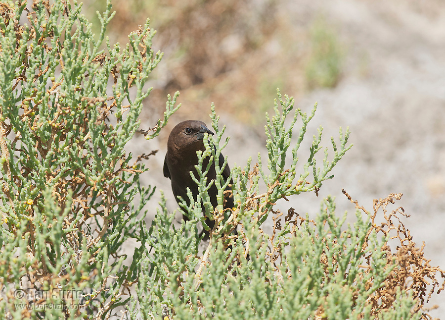 A male brown-headed cowbird, Molothrus ater, catches an insect larva on a pickleweed plant, Allenrolfea occidentalis, in Saline Valley, Death Valley National Park, California
