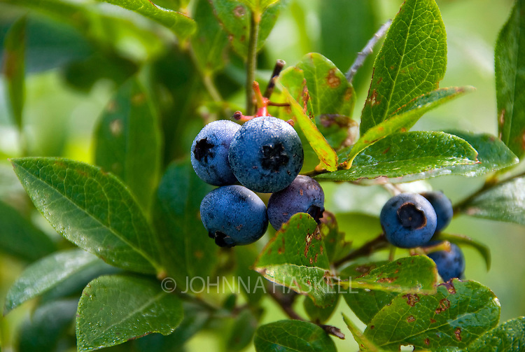 Maine blueberries showing early morning dew.