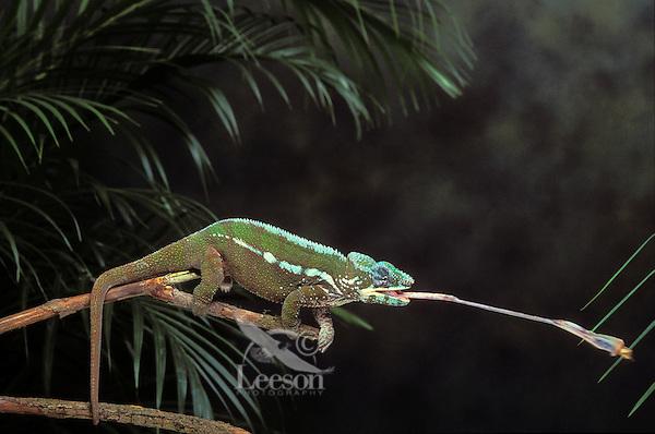 Panther Chameleon throwing tongue..Native to Northern & Coastal Madagascar. Captive..(Chamaeleo pardalis).