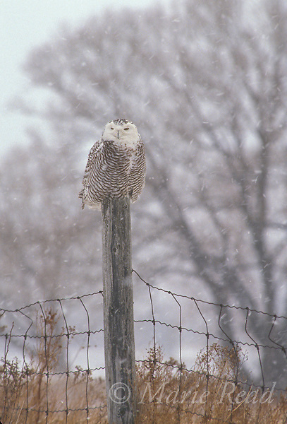 Snowy Owl (Nyctea scandiaca), female perched on a wire fence during a snowstorm, Wolfe Isand, Ontario, Canada<br /> Slide # B70-13