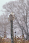 Snowy Owl (Nyctea scandiaca), female perched on a wire fence during a snowstorm, Wolfe Isand, Ontario, Canada Slide # B70-13  WILD BIRD: not baited or called in.