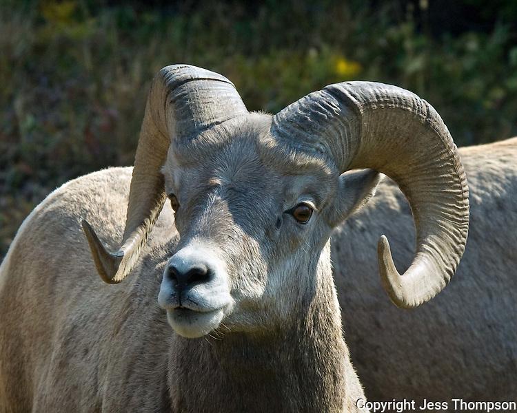Big Horn Sheep, Glacier National Park, Montana