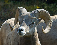 Big Horn Sheep, Glacier National Park, Montana