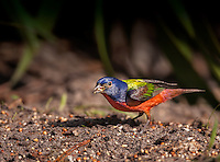 Brightly colored Male Painted Bunting perched on ground with seed in beak