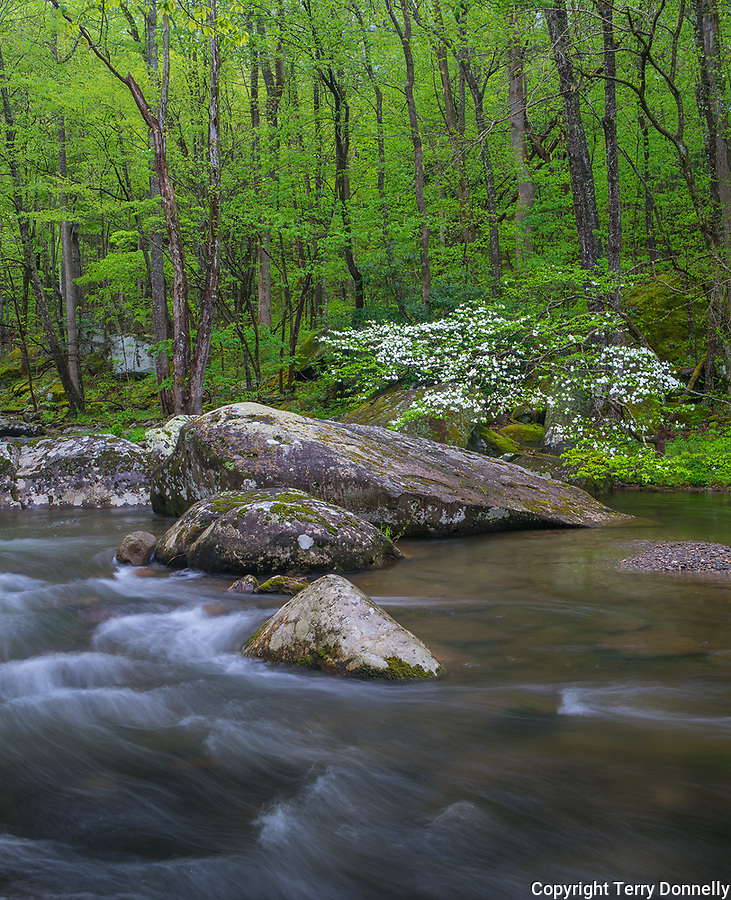 Great Smoky Mountains National Park, Tennessee: Flowering dogwood on the Middle Prong Little River in spring