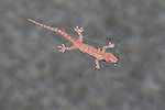 Asian House Gecko walks on water: In the cold water of a suburban pool in winter an Asian House Gecko is kept afloat by the surface tension of  water molecules.  //  Asian House Gecko - Gekkonidae: Hemidactylus frenatus. Length: body to 6cm plus 11cm tail. Hue depends upon intensity of light: bright light - darker colour, dim light - lighter colour. Originally from south-east Asia and islands and mainlands of the Indo-Pacific Region, this Gecko is now spreading throughout the world mainly in cargo on ships. Initially in tropical areas, but now gradually moving into a wide variety of warmer climates. It is common in buildings where it walks on walls and ceilings, catching insects attracted to lights. Has a distinctive clicking 'chuck-chuck-chuck' call. Here it is supported by the surface tension of water after it has fallen into a swimming pool - cohesion of the water molecules is greater than the force of gravity caused by the weight of the gecko.