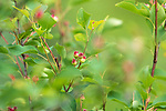 Juneberry growing in northern Wisconsin.