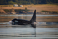 A large bull Killer Whale (Orcinus orca ) surfaces off the San Juan Islands in Washington, USA.
