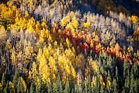 Aspens turn gold in Colorado in the fall.
