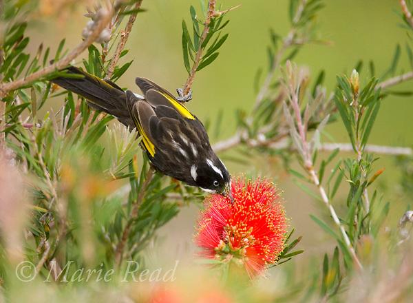 New Holland Honeyeater (Phylidonyris novaehollandiae), feeding from bottlebrush (Callistemon sp.) flower, Kangaroo Island, Australia