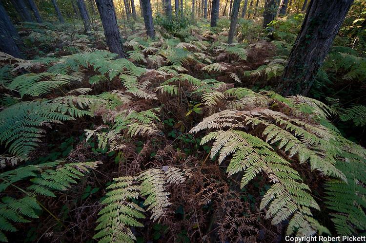 Broad Buckler Fern, Dryopteris dilitata, Thornden Woodlands, Kent, UK, in autumn