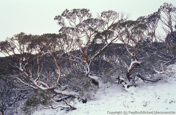 Snow Gum, Eucalyptus pauciflora, in snow, Kosciusko National Park, New South Wales, NSW, Australia,