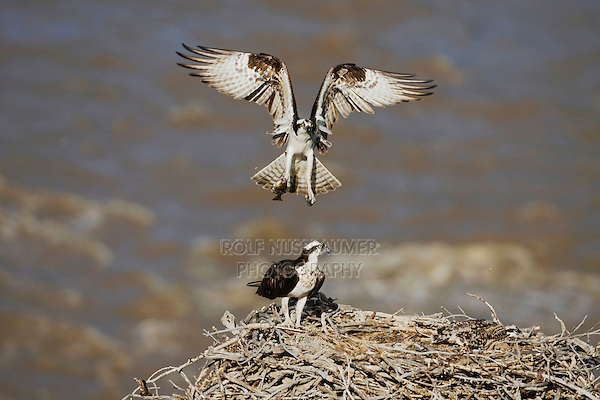 Osprey (Pandion haliaetus), adult bringing trout to young in nest, Yellowstone River, Yellowstone National Park, Wyoming, USA