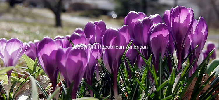 NAUGATUCK, CT-20 March 2006-032006TK11- Crocuses in Naugatuck search for warm sunlight only to be welcomed by below normanal temperatures on the first day of spring.   Tom Kabelka Republican-American (Crocuses)CQ