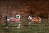 35-B02-WA-174   AMERICAN WIDGEON (Mareca americana) male and female on pond in spring, western Oregon, USA.