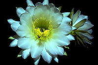 CEREUS NIGHTBLOOMING CACTUS