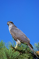 Northern Goshawk sitting on pine tree branch.  Western U.S.