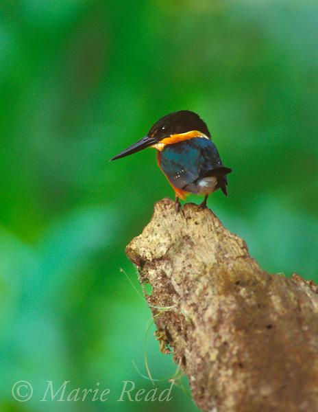 American Pygmy Kingfisher (Chloroceryle aenea) male, Gamboa, Panama<br /> Slide # B82-260