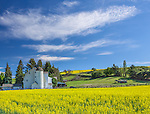 Whitman County, WA: The Dahmen Wheel Barn with canola blooming  in summer in Uniontown, Palouse Country