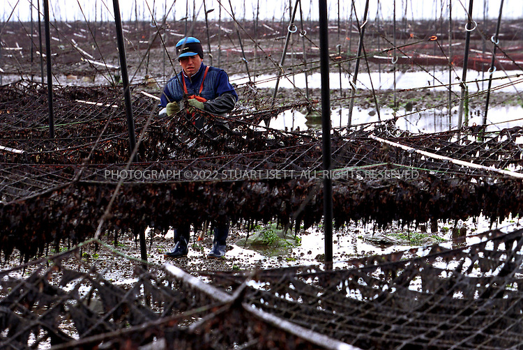 1/29/2002--Ariakae Town, Nagasaki Prefecture, Japan..Mitsunobu Shinozuka, 43, a 'nori' seaweed farmer working during the low tide with the nets he uses to grow the Japanese delicacy. Shinozuka has been growing nori in the Ariake Sea for 25 years but since the closing of Isahaya Bay for a massive and controversial public works project in April 1997, his crop has suffered....All photographs ©2003 Stuart Isett.All rights reserved.This image may not be reproduced without expressed written permission from Stuart Isett.